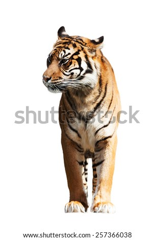 Adult tiger. Isolated  on white background