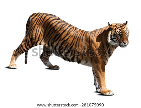 Adult tiger. Isolated  on white background with shade - stock photo