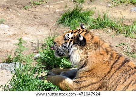 Adult tiger lying on the grass