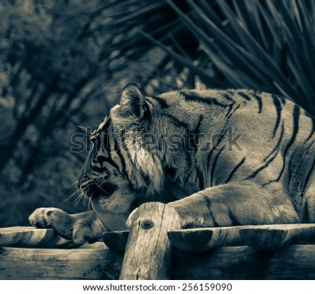 Adult tiger lying on wooden boards and licking his paw. Toned. - stock photo