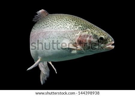 ADULT TROUT FISH ISOLATED ON BLACK, AQUARIUM SHOT  - stock photo