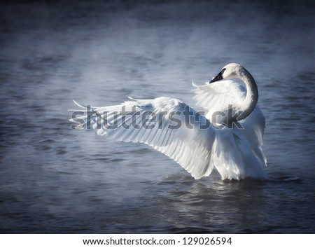 Adult trumpeter swan with wings stretched.  Mist coming off the lake. Winter in Wisconsin - stock photo
