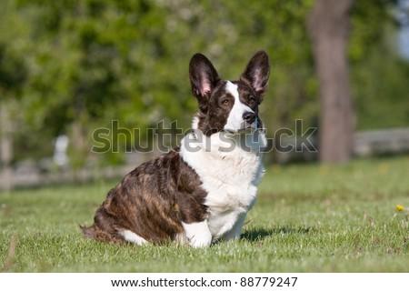 Adult welsh corgi cardigan posing - stock photo