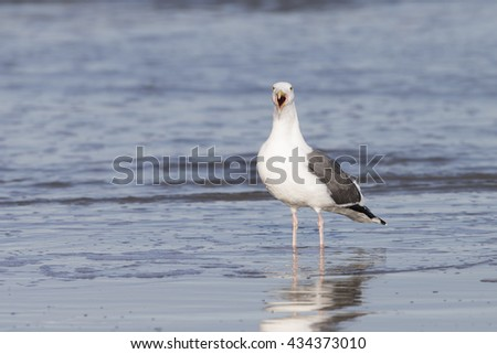 Adult Western Gull Landing on Pacific coast beach - stock photo