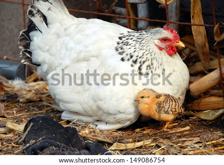 adult white hen with baby chicken outdoor - stock photo