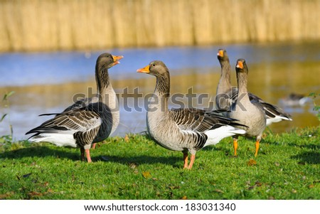 Adult wild geese on the grass near the water, The Netherlands