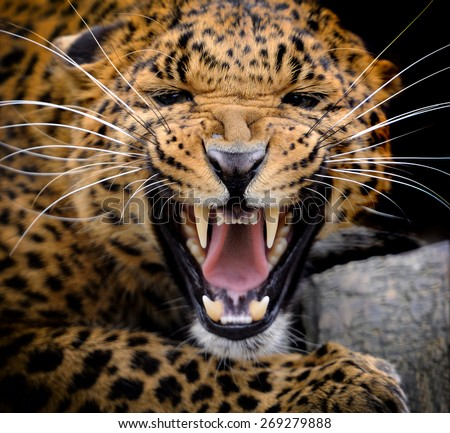 Adult wild leopard in a natural environment, soft focus - stock photo