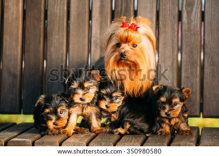 Adult Yorkshire Terrier dog with puppies sitting in wooden bench - stock photo