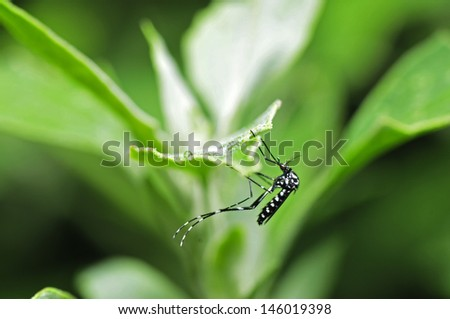 Aedes albopictus in the green leaf, and close-up pictures   - stock photo