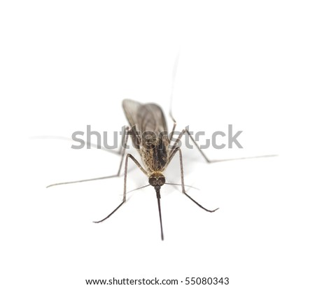Aedes mosquito isolated on white background. Extreme close-up - stock photo
