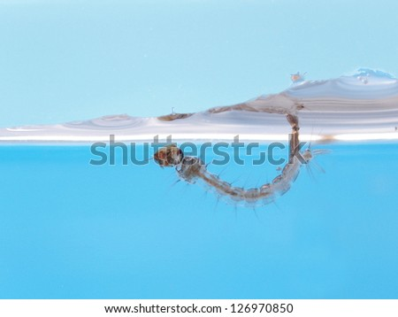 Aedes mosquito larva in water. - stock photo