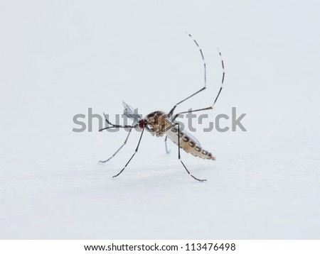 Aedes togoi mosquito isolated on white - stock photo