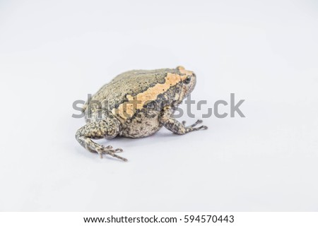 Aegiag bullfrog or a genus of amphibian species of frogs in the genus in the family Kaloula bullfrog.