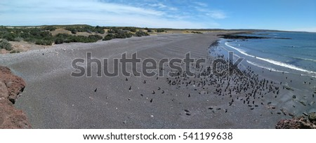 Aerial panoramic view to Magellanic penguin colony