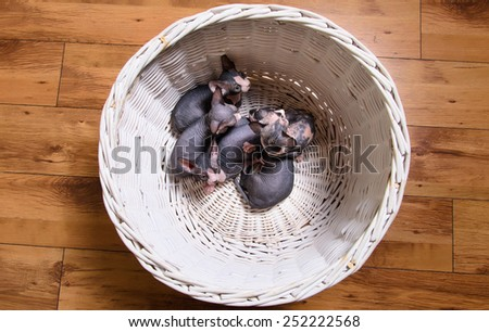Aerial Shot of Sphynx Kittens Resting in a White Basket on a Wooden Floor. - stock photo