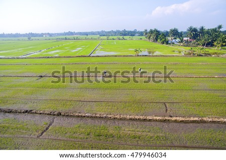 aerial view farmer sparying paddy field