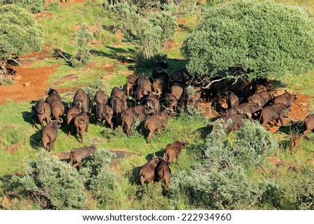 Aerial view of  a herd of  African or Cape buffaloes (Syncerus caffer), South Africa - stock photo