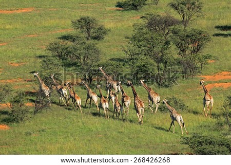 Aerial view of a herd of giraffes (Giraffa camelopardalis) in natural habitat, South Africa - stock photo