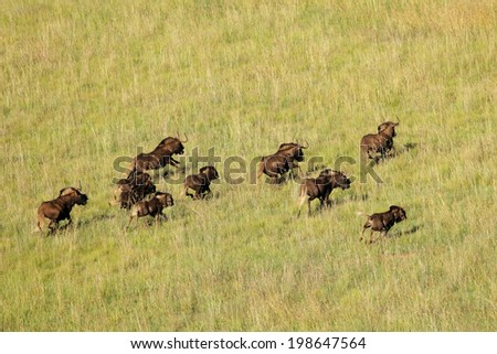 Aerial view of black wildebeest (Connochaetes gnou) running in grassland, South Africa  - stock photo