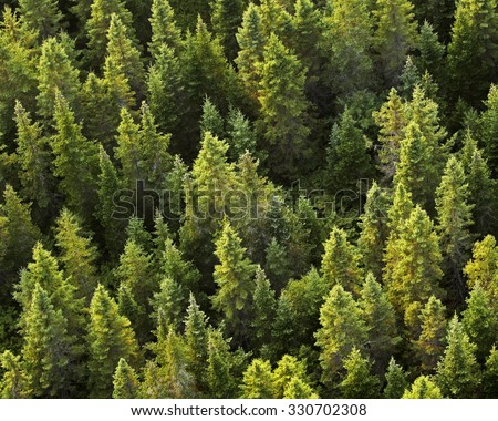 Aerial view of evergreen trees.