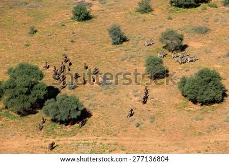 Aerial view of plains zebras (Equus quagga) and blue wildebeest (Connochaetes taurinus), South Africa  - stock photo