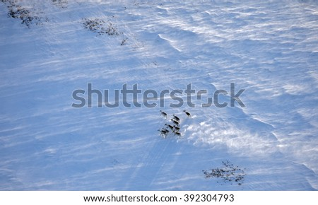 Aerial view of reindeer herd in winter tundra