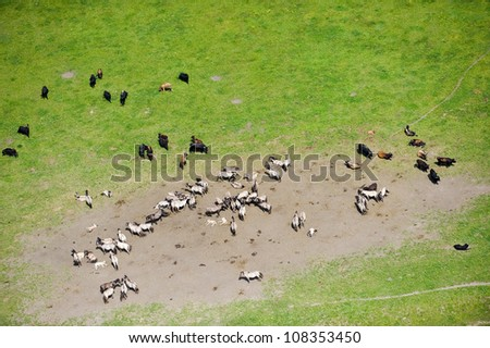 aerial view over the meadows and wild cows and horses - stock photo