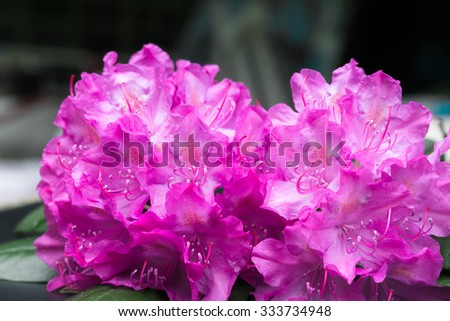 Aerial view pink lilac Rhododendron blossoms dark background. Closeup evergreen magenta blooming rhododendron bouquet national flower of Nepal - stock photo