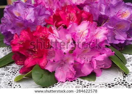 Aerial view pink red lilac Rhododendron blossoms white lace background  Closeup beautiful evergreen rhododendron bouquet national flower of Nepal - stock photo