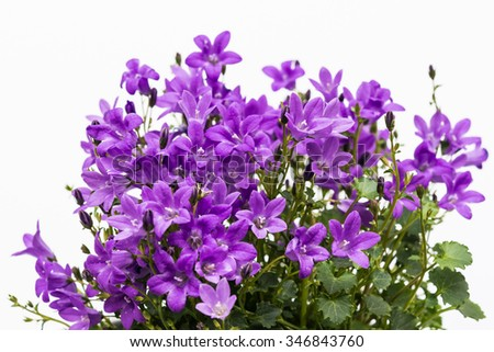 Aerial view potted purple Campanula Portenschlagiana flowers on white background.  Little bell-shaped flower in family Campanulaceae used for headpiece of fairies, elves, bridemaids and brides. - stock photo