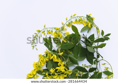 Aerial view yellow laburnum bunch of flowers on blue background  Top view golden chain blossoms bouquet perfect for romantic wedding, birthday and gift concept - stock photo