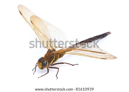 Aeshna cyanea. Southern Hawker dragonfly (Blue Darner) on white background - stock photo