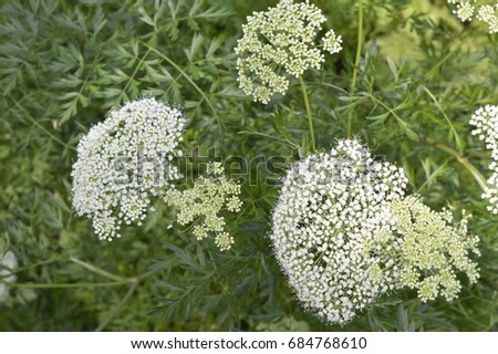 Aethusa cynapium poisonous plant white flowers stock photo royalty aethusa cynapium poisonous plant with white flowers mightylinksfo