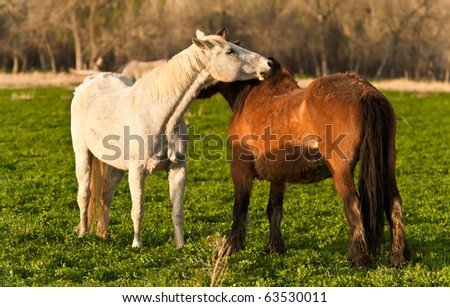 Affectionate Horses - stock photo