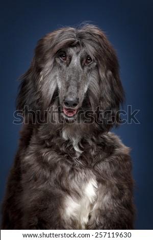 Afgan dog - stock photo