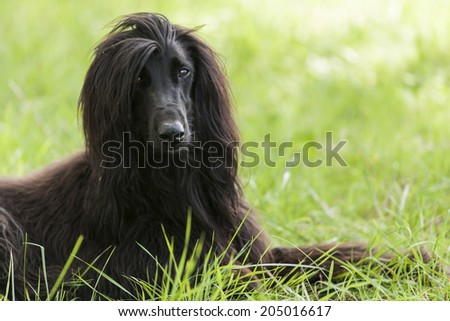 Afghan dog in France