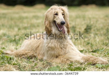 Afghan hound - resting in a field in laying position - stock photo