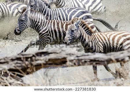 Afraid zebras running in the water, motion blur - stock photo
