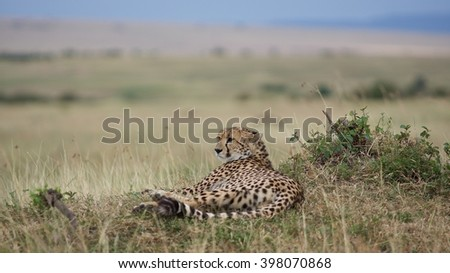 africa cheetah relaxing on higher ground
