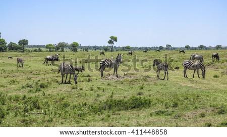 Africa. Kenia. zebra in Masai Mara National Park. - stock photo