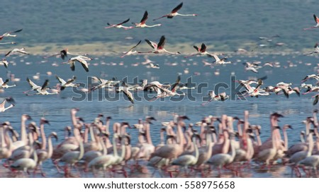 AFRICA, KENYA, Lake Bogoria National Reserve, flamingos in the lake