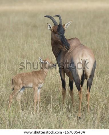 africa kenya Masai Mara reserve   topi with young - stock photo