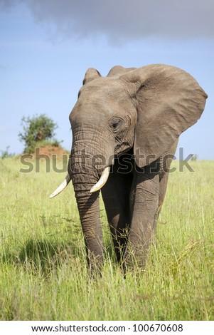 africa, masai mara/elephant portrait/ - stock photo