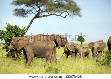 africa, masai mara/elephants family/