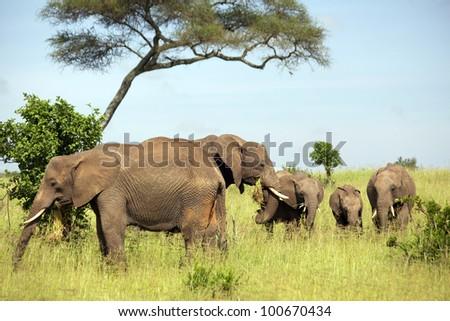 africa, masai mara/elephants family/ - stock photo