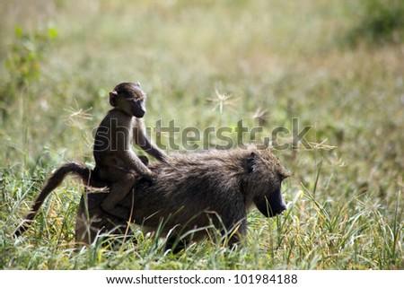 africa, masai mara/monkeys/ - stock photo