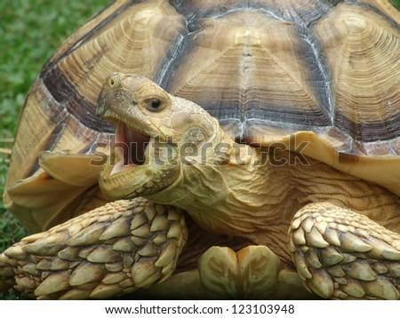 Africa spurred tortoise yawning - stock photo
