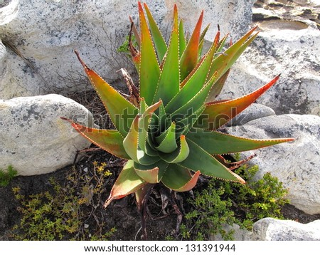 African Aloe at Table Mountain National Park - stock photo