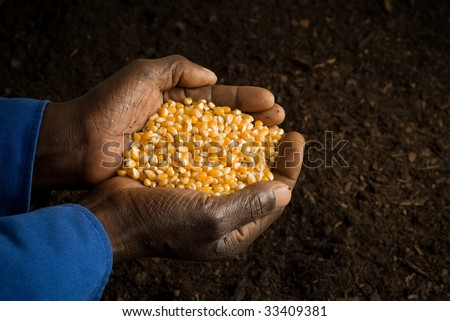 African American Farmer Holding Seeds in Hands with Prepared Soil in Background - stock photo