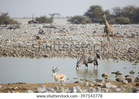 African animals in the driking pool giraffe and oryx - stock photo